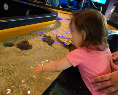 Horseshoe crab touch exhibit at Ripley's Aquarium in Toronto